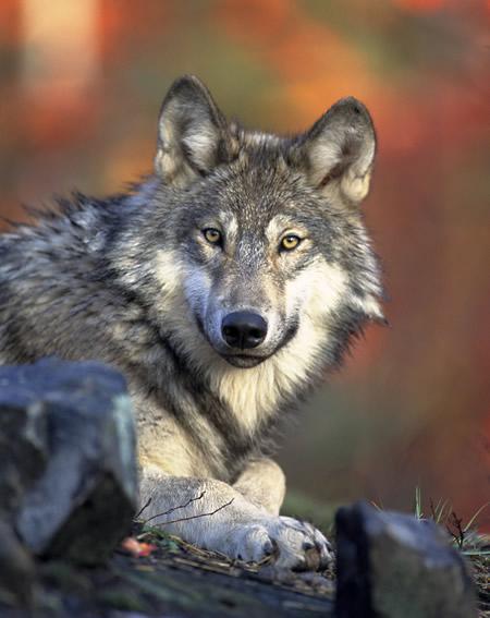 MINNESOTA ZOO WOLF